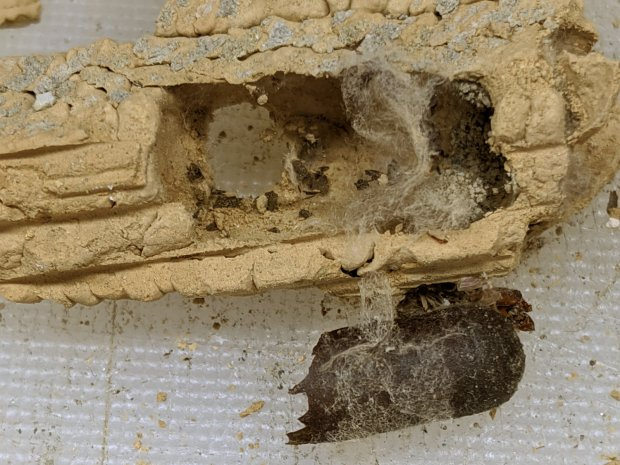 Organ Pipe Wasp Nest - capsule detail