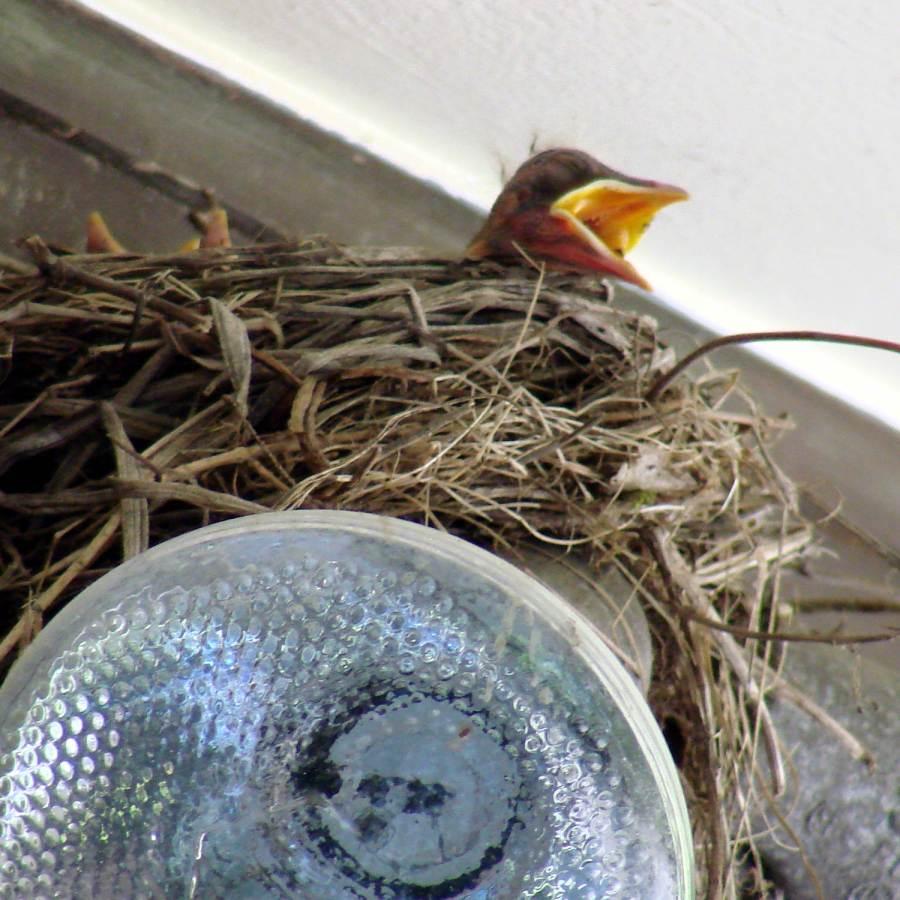 Garage Robin - Nestling begging