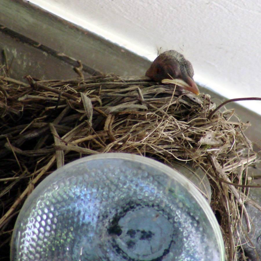 Garage Robin - Nestling dozing