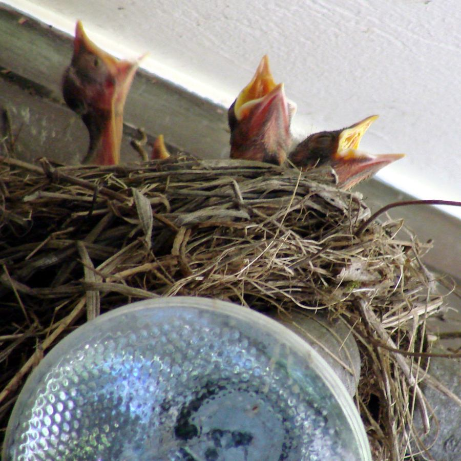 Garage Robin - Nestlings begging