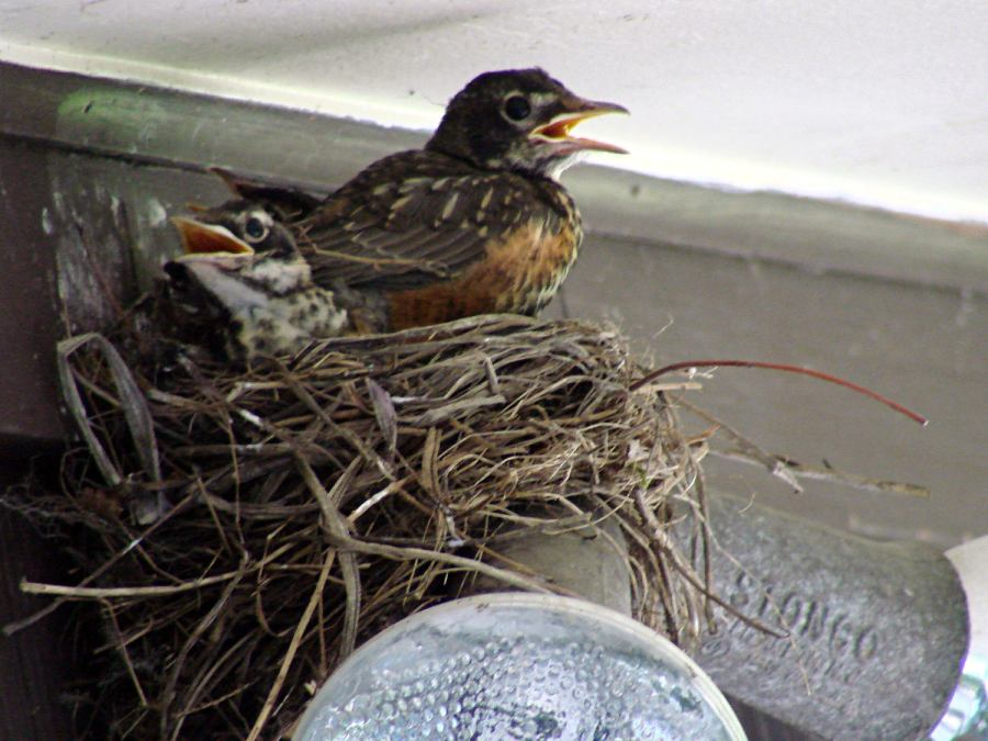 Robin Fledging Day - three nestlings