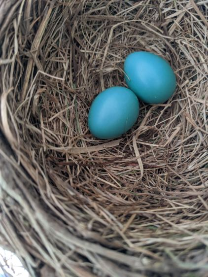 Garage Robin Nest - 2 eggs - 2020-05-29