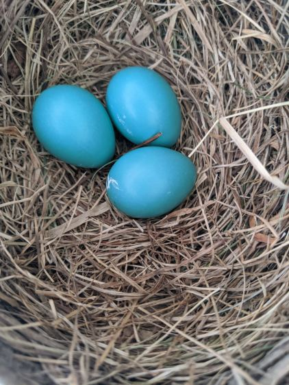 Garage Robin Nest - 3 eggs - 2020-05-30