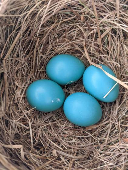 Garage Robin Nest - 4 eggs - 2020-05-31