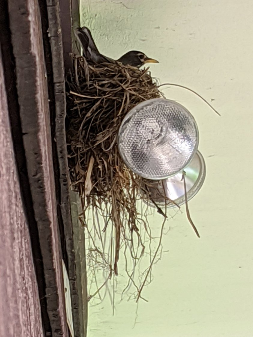 Garage Robin Nest - robin brooding
