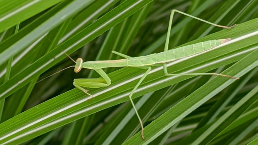 Praying Mantis - 2020-07-24