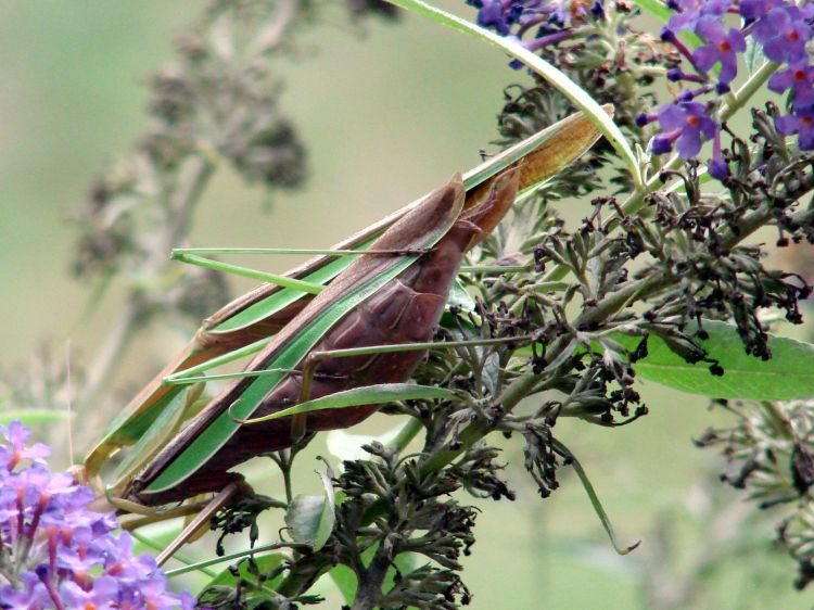 Praying Mantis Mating - rear