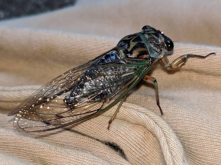 Cicada - right dorsal
