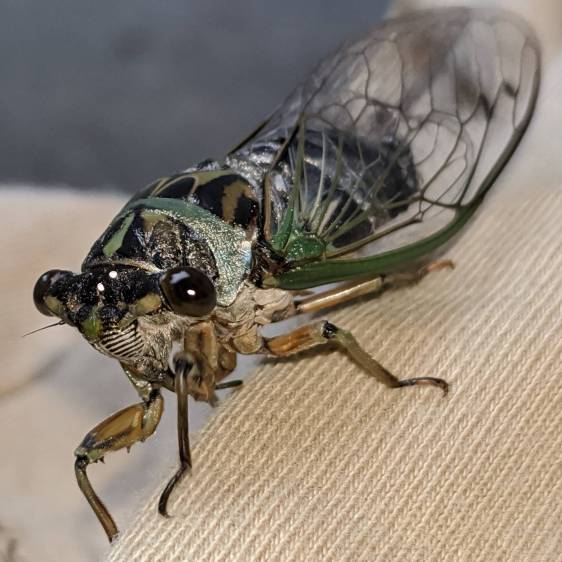 Cicada - left front
