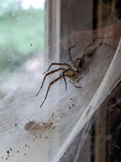 Funnel web spider in window