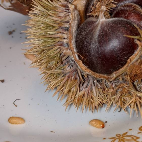 Chestnut parasite larvae - overview