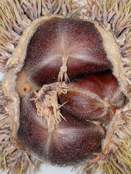 Chestnut parasite larvae - exiting husk