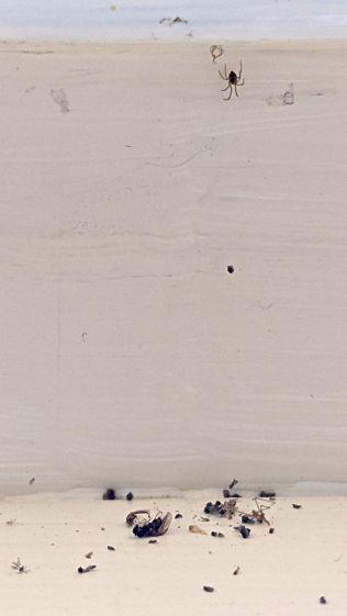 Spider above debris field