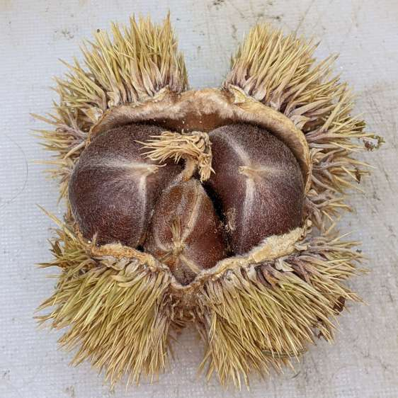 Chestnut husk - dried