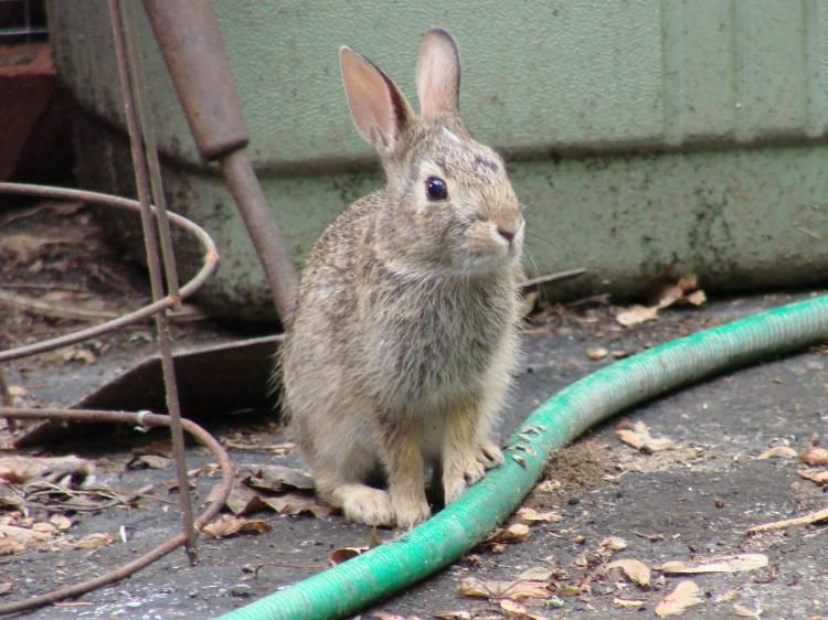Young Rabbit - alert