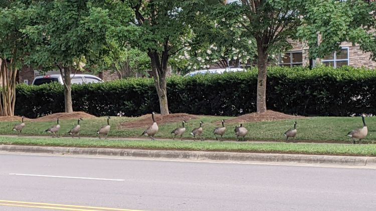 Canada Goose parade - A