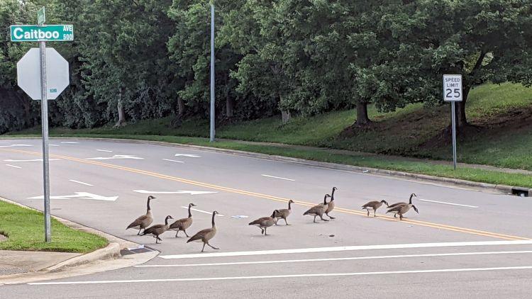 Canada Goose parade - C