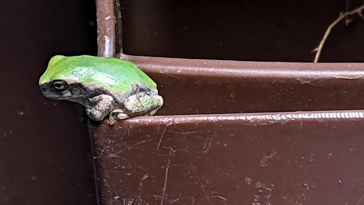 Tree Frog on trash can handle