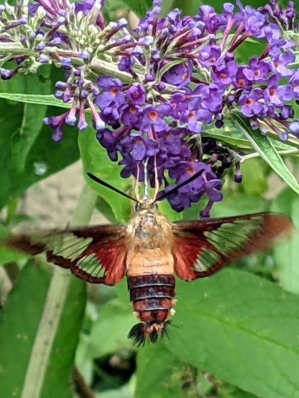 Clearwing Hummingbrid Moth