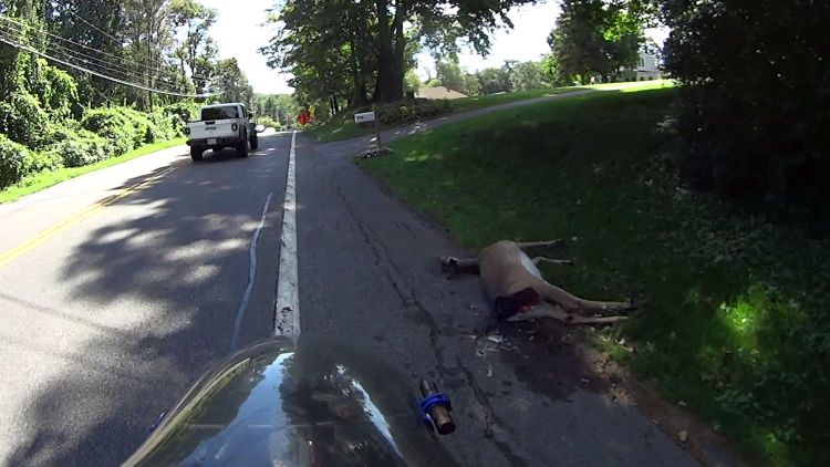 Deer Collision - roadkill - New Hackensack Rd - 2021-09-08