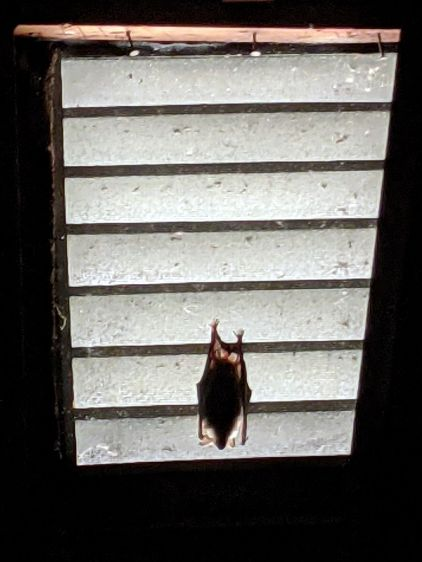 Bat on attic vent